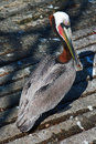 Pelican on boat launch dock in harbor of Cabo San Lucas Baja Mexico Royalty Free Stock Photo