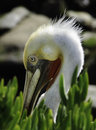 Pelican in Breeding Plumage, California Stock Photo