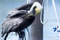 Pelican cleaning its wet feathers beautiful yellow color on his face and eye view Stock Images