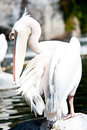 Pelican close up of a grooming its feathers Royalty Free Stock Images