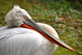 Pelican close-up macro textured white feathers beak Royalty Free Stock Photo