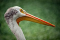 Pelican Close Up Royalty Free Stock Photo