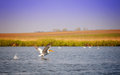 Pelican danube delta landscape with flying and clear blue sky Stock Image