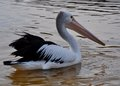 Pelican at Dawn in Profile Royalty Free Stock Photo