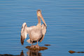 Pelican drying its feathers Royalty Free Stock Photo