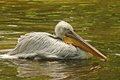 Pelican drying wings in lake a a Stock Photography