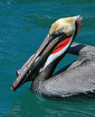 Pelican eating swordfish skin while swimming in harbor of Cabo San Lucas Baja Mexico Royalty Free Stock Photo