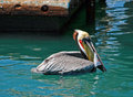 Pelican eating swordfish skin while swimming near harbor docks of Cabo San Lucas Baja Mexico Royalty Free Stock Photo