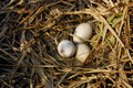 Pelican Eggs Royalty Free Stock Photo