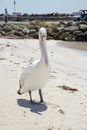 Pelican with Elongated Beak Royalty Free Stock Photo