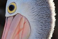 Pelican face close up detail of the of an australian the pale pinkish bill the bright yellow ring around the eye and the streak of Stock Images