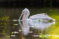 Pelican feeding on water reflection south africa a the with an amazing Royalty Free Stock Images