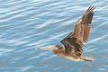 Pelican flies low over water Royalty Free Stock Images