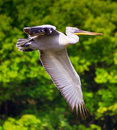 Pelican in flight Royalty Free Stock Photos