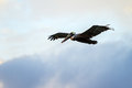 Pelican flight beautiful image of a brown pelecanus occidentalis in in puerto rico Stock Photography