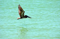 Pelican in flight flying over calm sea looking for food Royalty Free Stock Photo