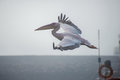 Pelican in flight a is the harbour at walvis bay namibia Stock Photography