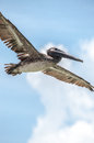 Pelican in flight i photographed this on clearwater beach florida Royalty Free Stock Image
