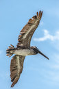 Pelican in flight i photographed this on clearwater beach florida Stock Image