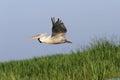 Pelican in flight over reeds great pelecanus onocrotalus danube delta romania Stock Images