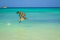 Pelican a flying at eagle beach in aruba Stock Photography