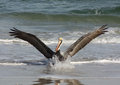 Pelican with full wing spread landing in the ocean water water splashes in front of him Royalty Free Stock Photo