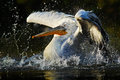 Pelican in the green water. White Pelican splashing in water. bird in the dark water, nature habitat, Romania. Bird in the water h Royalty Free Stock Photo