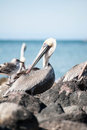 Pelican grooming Royalty Free Stock Photo