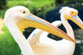 Pelican head on the background of the pond Stock Photography