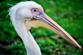 Pelican head close up of a Royalty Free Stock Photography