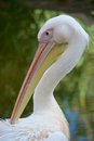 Pelican head close up of a cleaning feathers Stock Photography