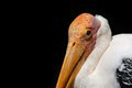 Pelican head detail of s orange beak and white feathers Stock Photography
