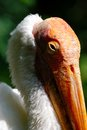 Pelican head detail of s orange beak and white feathers green background Royalty Free Stock Images