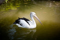 Pelican on the lake Royalty Free Stock Photos