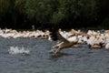 Pelican landing Royalty Free Stock Photo