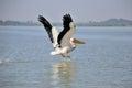 Pelican landing on lake Royalty Free Stock Photo