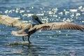Pelican landing in the ocean with wings spread