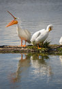 Pelican pair birds water fowl wildlife standing lake klamath oregon grooming and stretchin beak by the Royalty Free Stock Photos