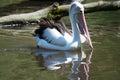 Pelican pelecanidae called in latin Stock Photos