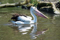 Pelican pelecanidae called in latin Stock Images