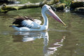 Pelican pelecanidae called in latin Royalty Free Stock Photography
