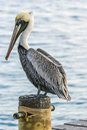 Pelican pelicans are a genus of large water birds that makes up the family pelecanidae Royalty Free Stock Photos