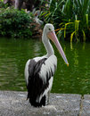 Pelican pelicans are a genus of large water birds that makes up the family pelecanidae they are characterised by a long beak and a Royalty Free Stock Photos