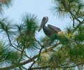 Pelican perching in tree Royalty Free Stock Photos
