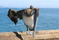 Pelican photo of a in newport coast california Stock Photography