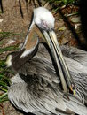 Pelican this photo was taken in st augustine florida Royalty Free Stock Photo