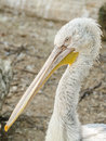 Pelican portrait close up photo Stock Images