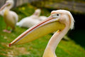 Pelican portrait closeup close up of white Royalty Free Stock Photo