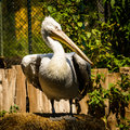 Pelican portrait of dalmatian in zoo schoenbrunn vienna austria Stock Photo
