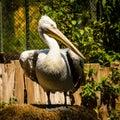 Pelican portrait of dalmatian in zoo schoenbrunn vienna austria Stock Photo